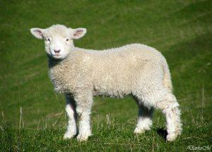 jagnje malo
