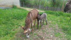 magarica sa mladuncetom