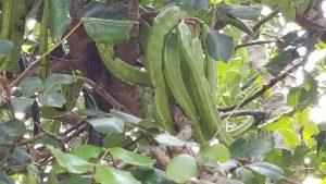 rogač plod