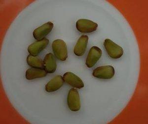 rogac seme