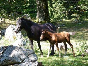 divlji konji zdrebe