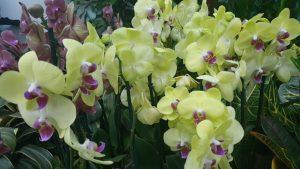 cvece-orhideje-zute