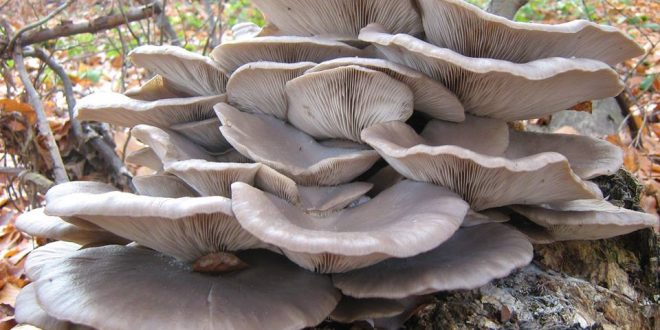 Šumska ostriga – borac protiv raka i HIV