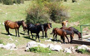 divlji konji na pojilo