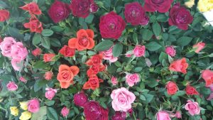 cvece-ruze
