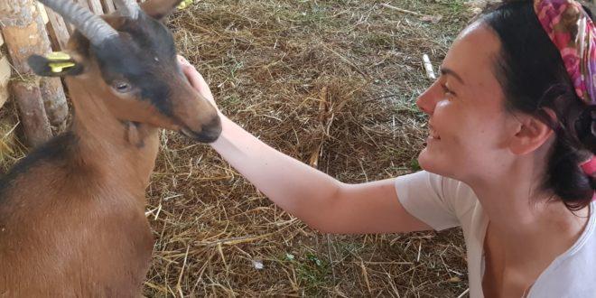 Alpino koze sa pašnjaka Tamnjanice daju najkvalitetnije mleko