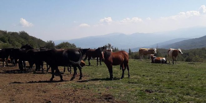 Izvor na Suvoj planini presušio – Ugroženo krdo konja i krava